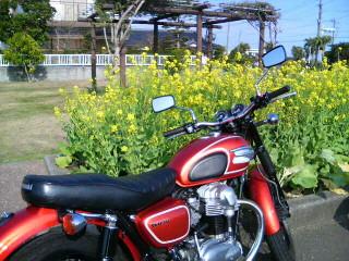 一月の菜の花